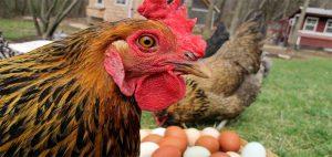 Блохи у кур несушек: причины, симптомы и способы лечения