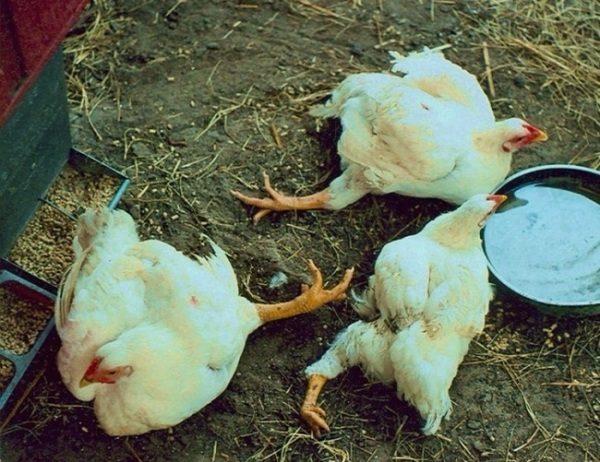 биомицин инструкция для кур - фото 6