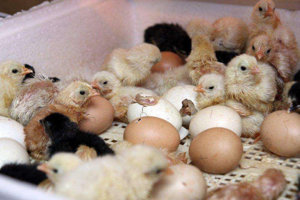 простом нательном вылупление цыплят из инкубатора видео стирке