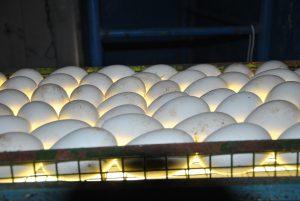 Яйца обязательно нужно опрыскивать