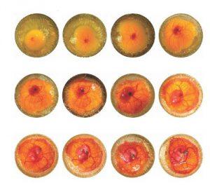 развитие утиного яйца
