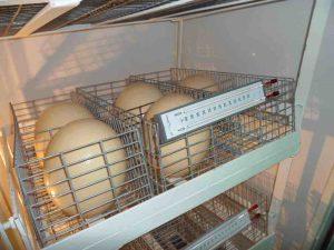 inkubatsiya-strausinyh-yaits