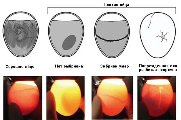 Просвечивание перепелиных яиц с помощью овоскопа