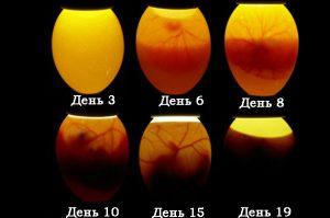 stadii-inkubatsii-brojlernyh-yaits