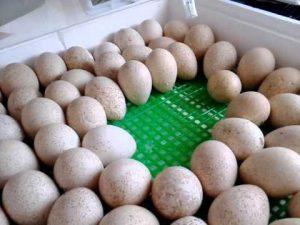 zakladka-indyushinyh-yaits-v-inkubator